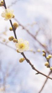 iPhone plusシリーズ 壁紙 梅の花
