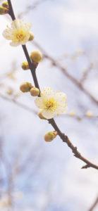iPhoneX壁紙 梅の花
