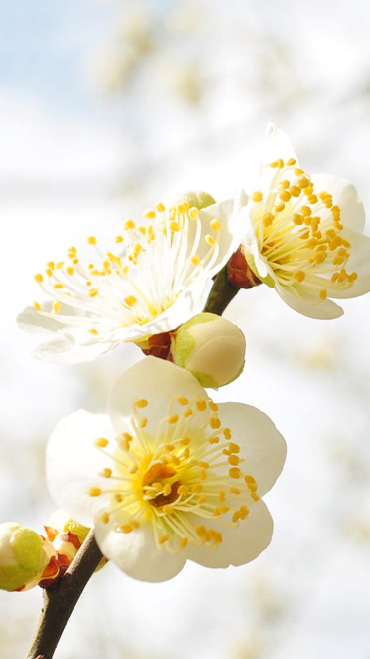 iPhone6_梅の花の壁紙