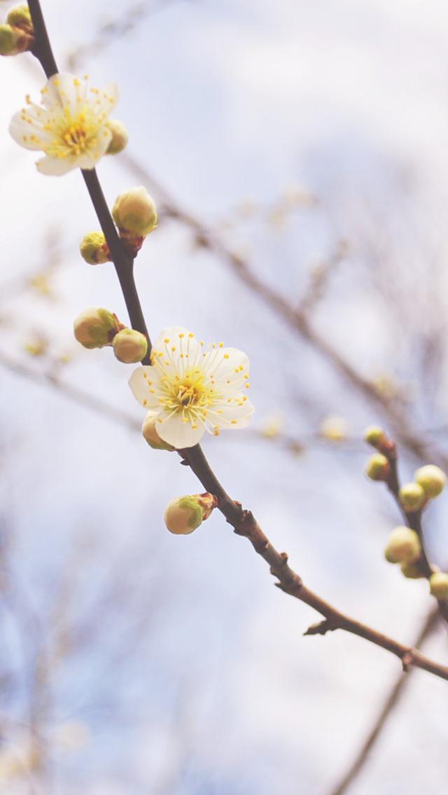iPhone7_梅の花の壁紙